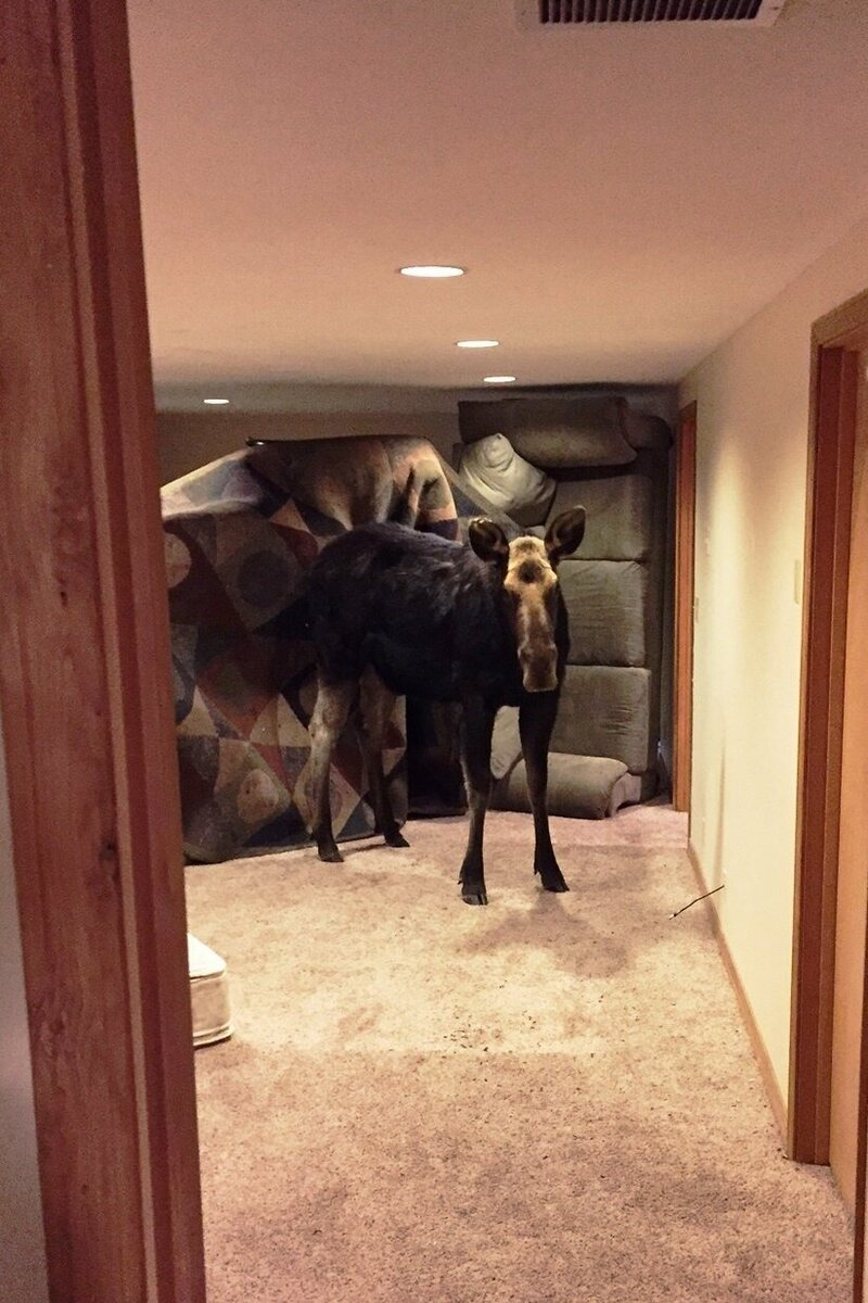The moose did not mean to be in the basement.
