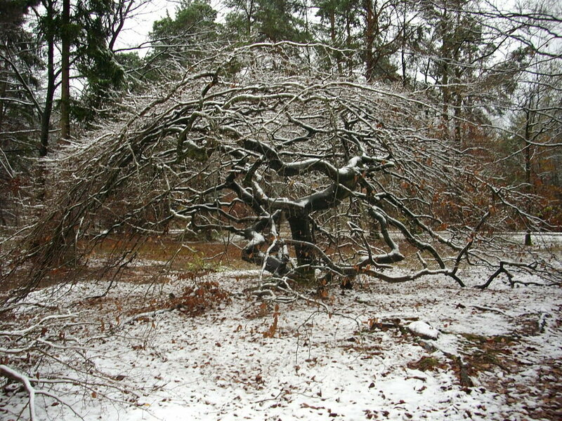 Sometimes the trees take on a shape like a turtle or igloo of branches.