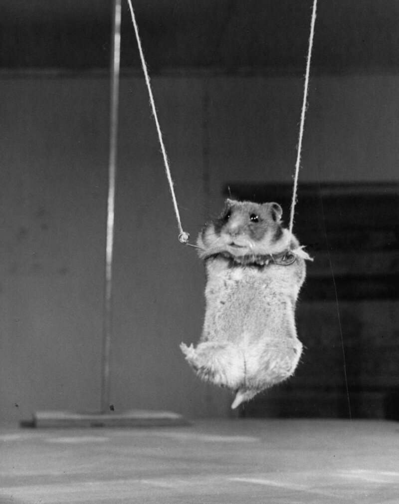 A tiny hamster hanging by his upper legs on a miniture trapeze.