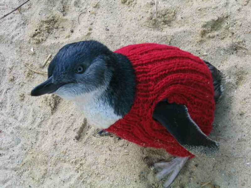 This jumpered little penguin can't endanger itself by preening oil off its feathers.
