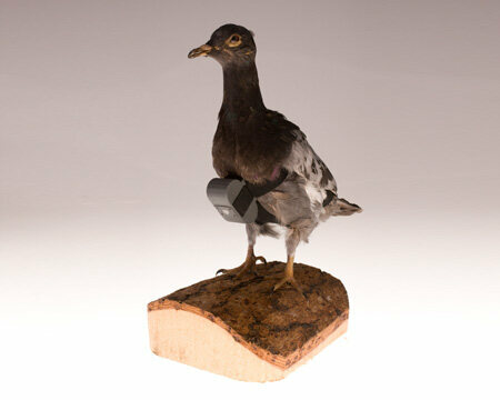 An example of a mounted pigeon cam.