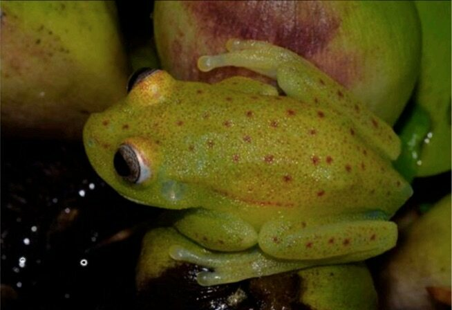 The frog without fluorescence.