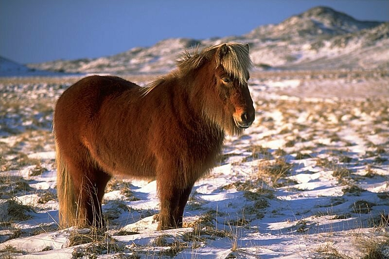 They still eat horse in Iceland, but it's not especially popular.