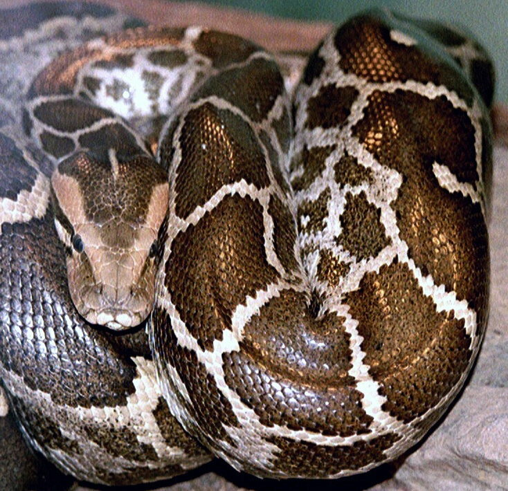 A python (not this one) got addicted to meth.