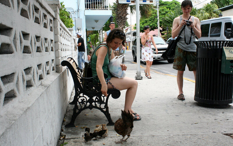Feral chickens have made a good life for themselves in Key West.