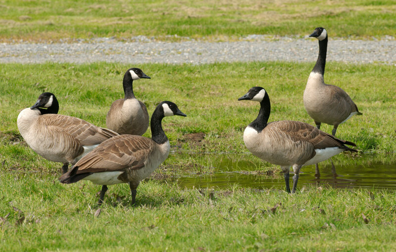 Canada geese in happier times.
