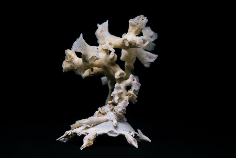 This Xenophora shell has the skeleton of a sea sponge growing out of it.