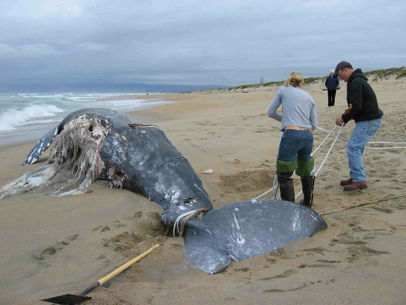 """Researchers from the Monterey Bay Aquarium Research Institute prepare to tow a dead whale off a beach in Monterey Bay. This carcass was sunk 1,800 meters deep in Monterey Canyon, and was nicknamed """"Patrick"""" by MBARI researchers."""