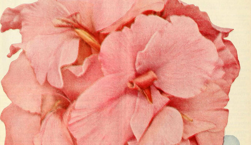 An illustration of pink canna from the early 1920s.