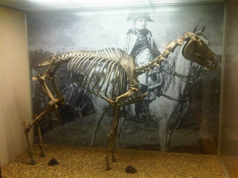 Marengo's skeleton, at the National Army Museum.