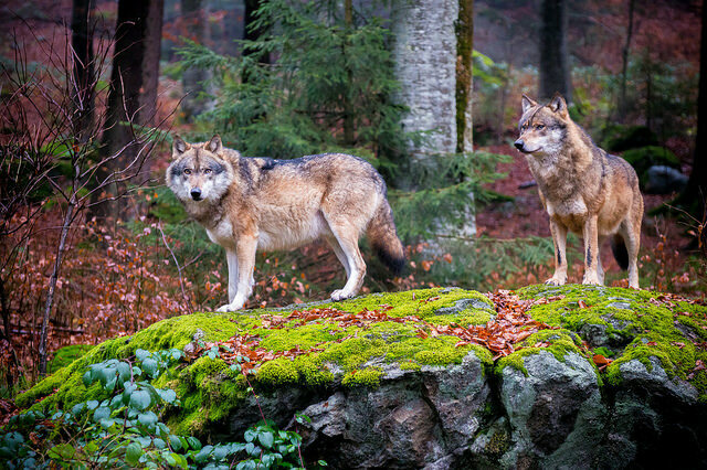 European gray wolves in Bavaria.