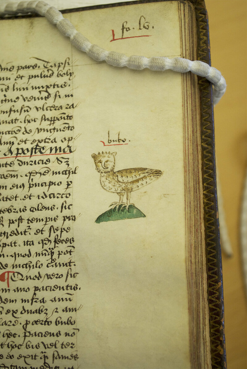 """Arderne engages in some Latin wordplay with this drawing of an owl.  """"Bubo"""" is both the Latin word for owl, and the word to describe swelling from rectal cancer. This would help those with a knowledge of Latin find the relevant section."""