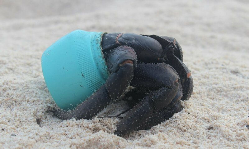 Hermit crab living in an Avon bottle, Henderson Island.