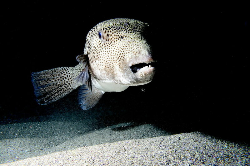 The giant pufferfish's teeth are not small.