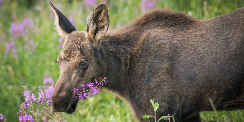 An American moose, also eating flowers.