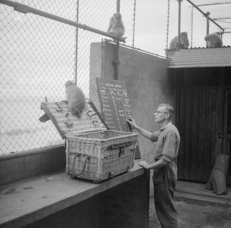 The latest arrival to Gibraltar is checked in. Following the superstition that if monkeys ever left Gibraltar it would cease to be a British colony, Churchill ensured their numbers were topped up.