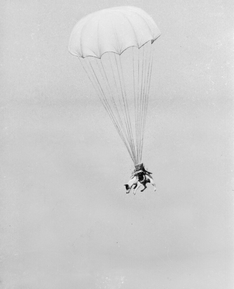 "Salvo the ""paradog"" completing a parachute jump during training at Andrews Field, near Great Saling, Essex."