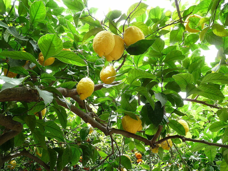 Lemons growing in Sicily today.