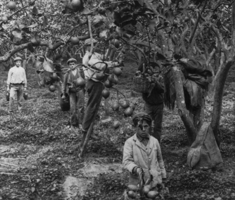 Workers pick lemons in a grove in Palermo in 1906.