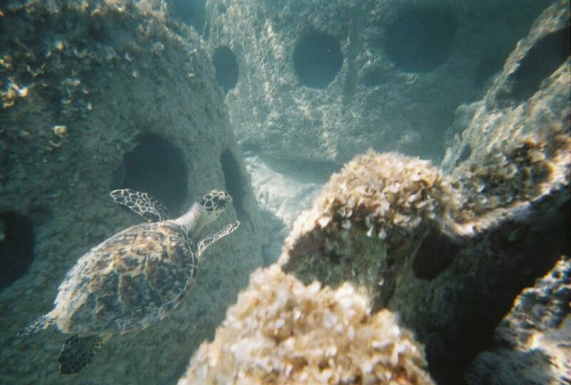 A turtle swims among some growing reef balls.