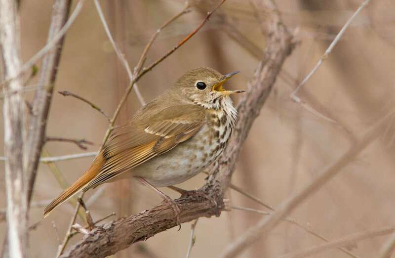 A singing Hermit Thrush (<em>Catharus guttatus</em>).