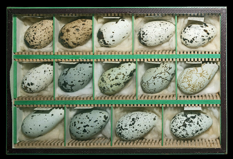 Common Murre eggs collected in the 18th century.