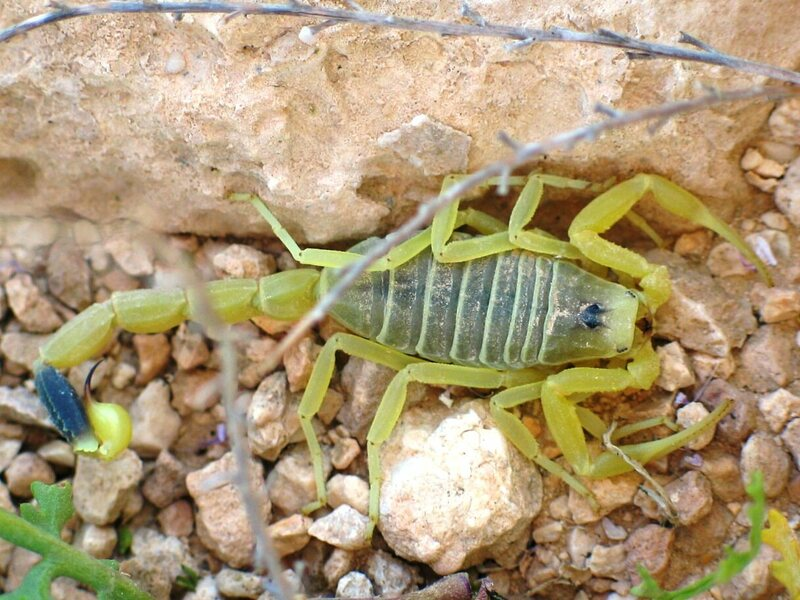 The deathstalker scorpion's venom is used to identify brain tumor cells.