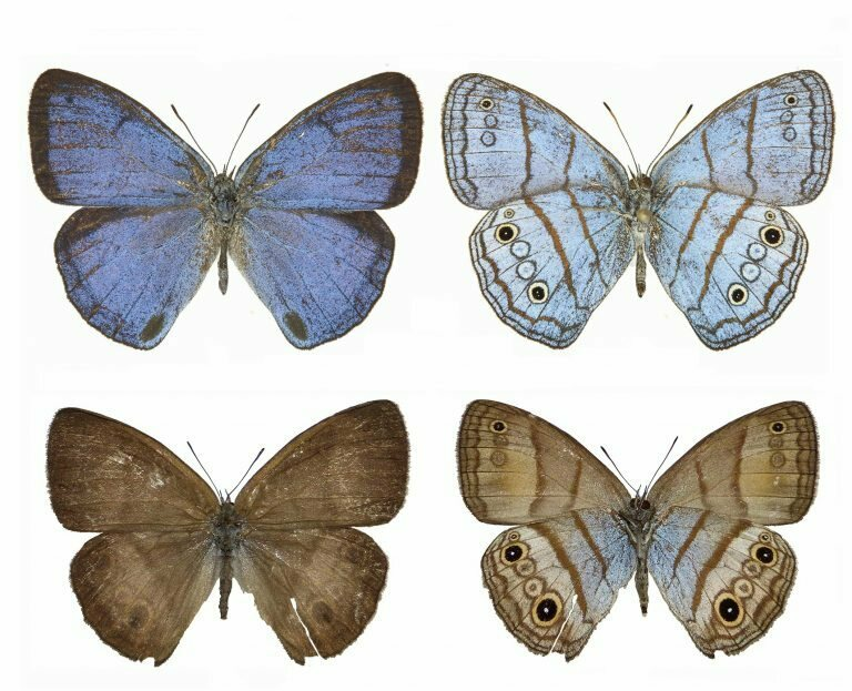 The same is true for newly discovered Trembath's cerulean-satyr butterflies.
