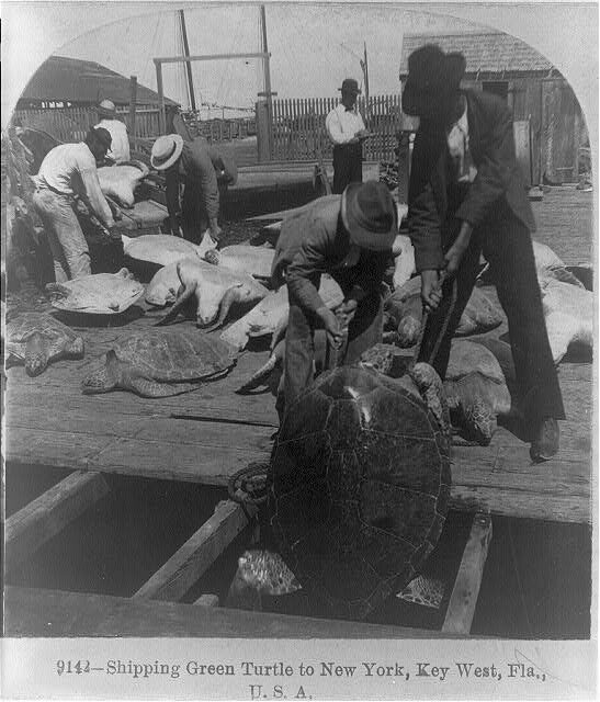 Two men pull a large turtle from a ship's cargo hold, 1898.