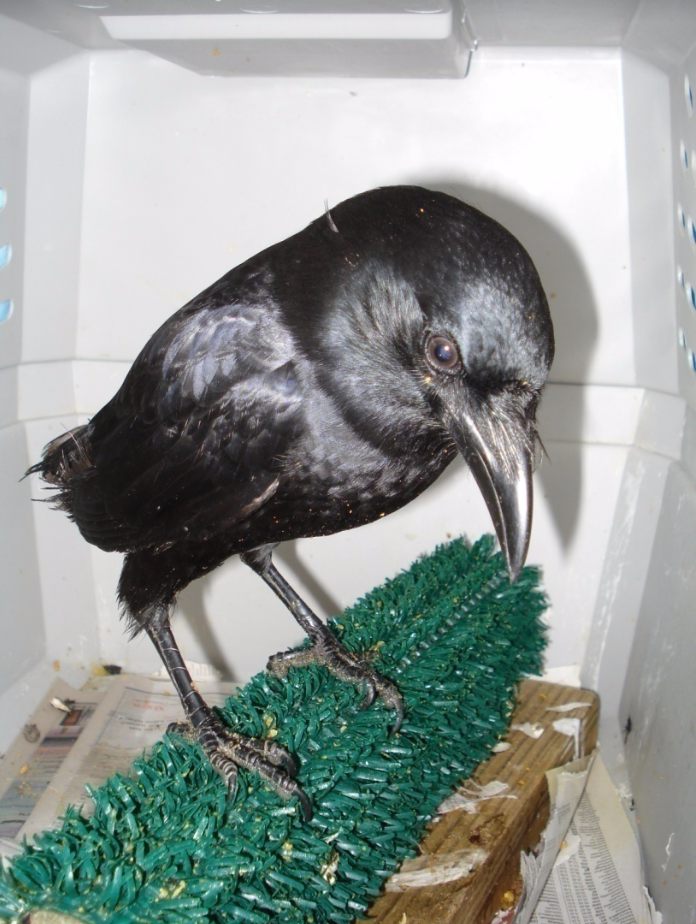 Nugget in February of 2008, before she regrew her flight feathers.