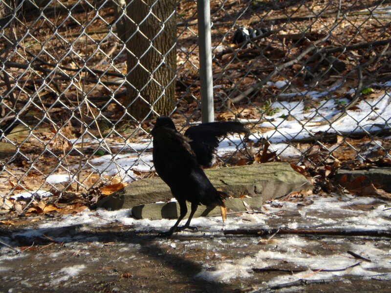 Nugget the crow, practicing her routine.