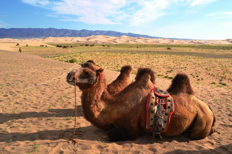 Two Bactrian camels belonging to a nomadic family relax in the Gobi.