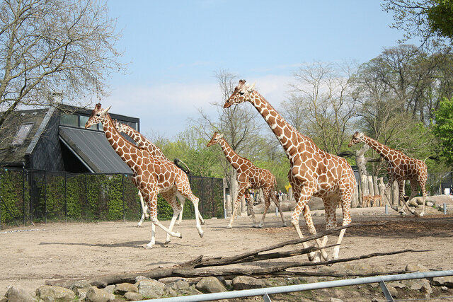 Giraffes running at the Copenhagen Zoo, much as their counterparts did at the Nashville Zoo during August's total eclipse.