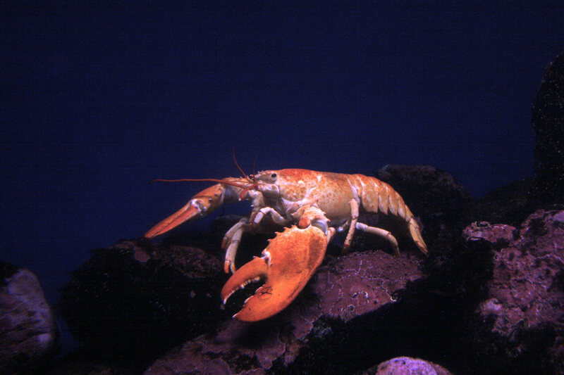 An orange lobster that also lives at the New England Aquarium.