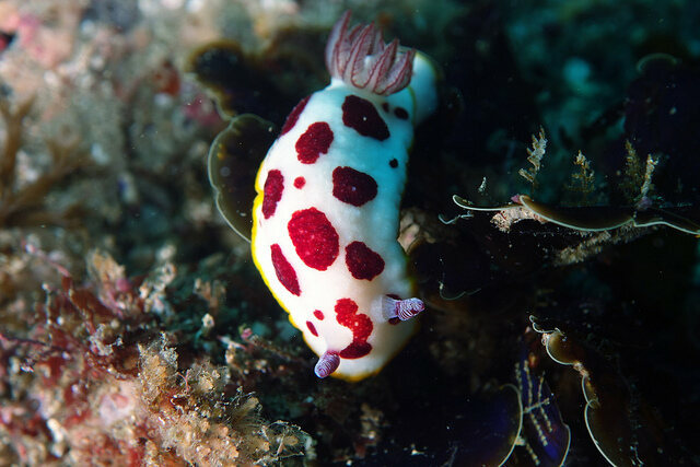 <em>Chromodoris splendida,</em> clowning around.