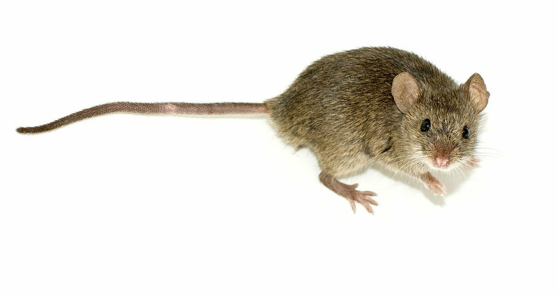 House mice are actually quite musical.