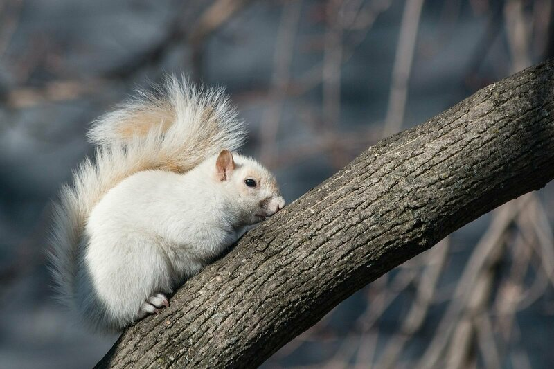 A squirrel with leucism.