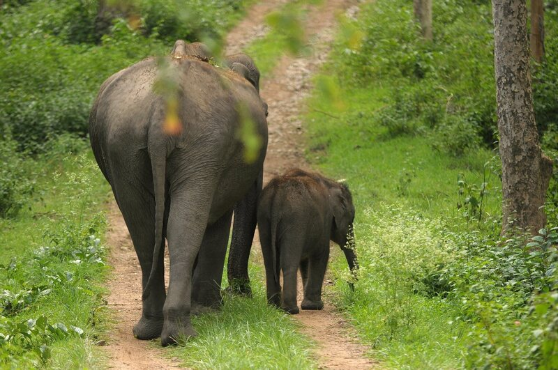 Female elephants, who usually travel with calves, are far more likely to adopt a new, risk-averse behavior.