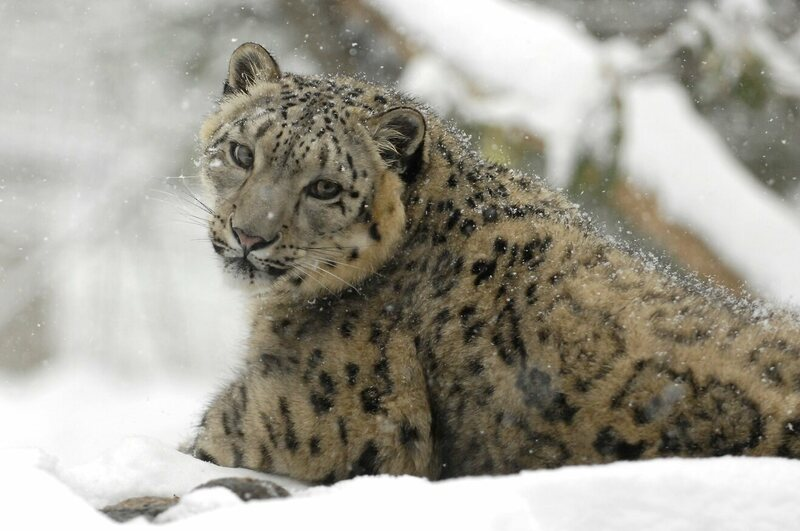 "The rare snow leopard is no longer listed as ""endangered."""