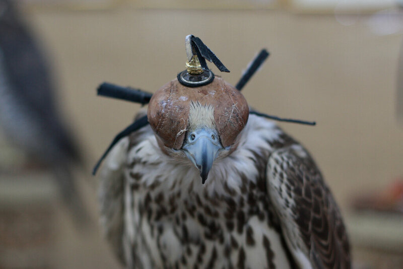 A Blindfolded Falcon Ready To Rack Up Some Sweet Frequent Flier Points Photo Yeowatzup On Flickr Creative Commons If You Re Boarding A Flight To Or From