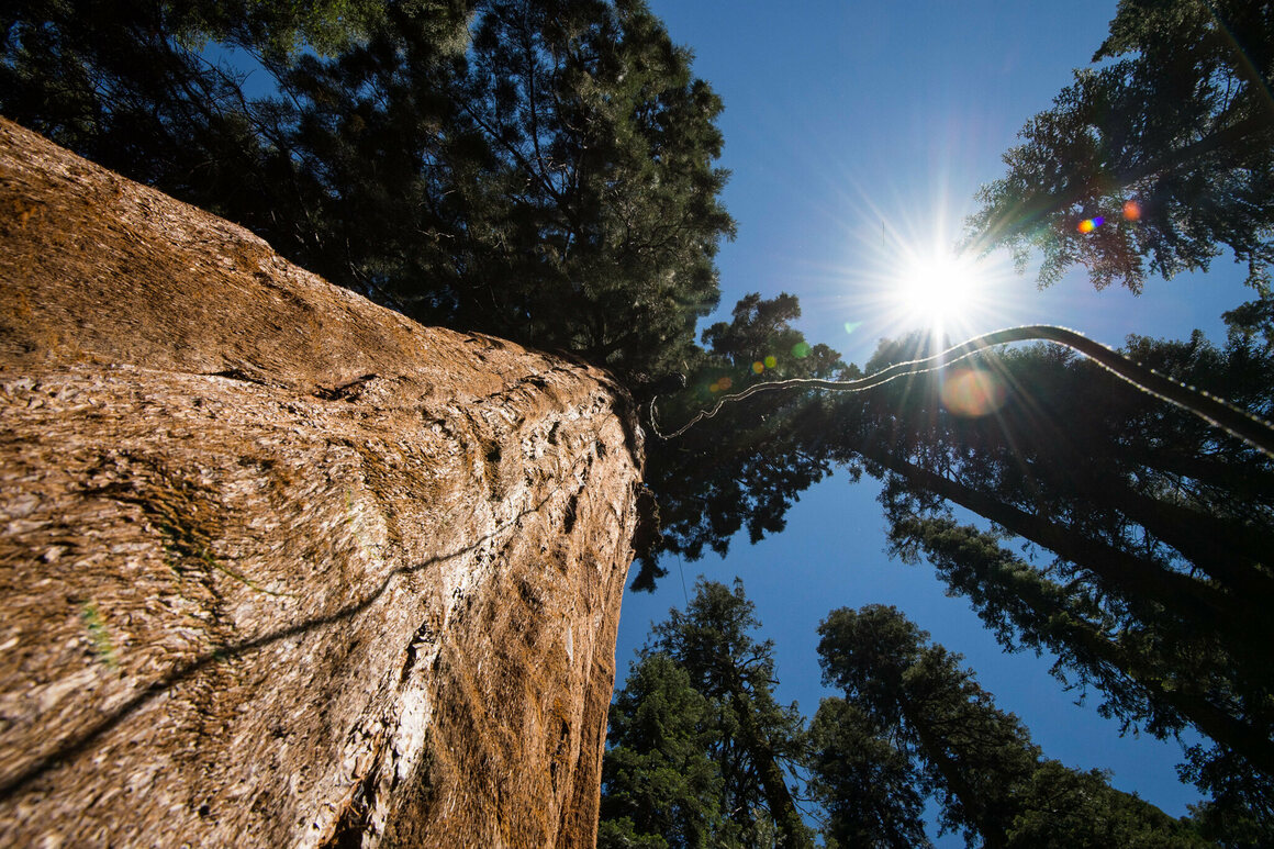 A section of a 600-foot static climbing rope dangles from the top of a giant sequoia tree, providing relatively easy access into the tree for scientists.