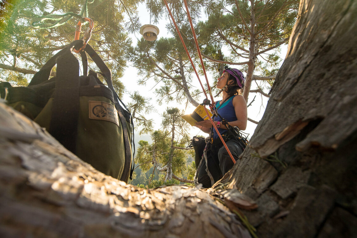 Baxter records data while taking foliage samples from the top of a giant sequoia tree in Sequoia National Park.