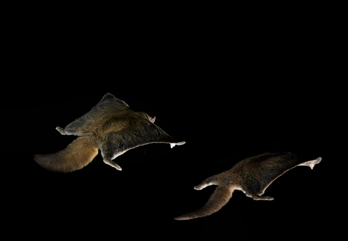 Flying squirrels have a unique ability to flatten the fur on the patagium and tail, producing characteristic, almost paper-thin silhouettes that float through the air during prolonged glides over mountain valleys.
