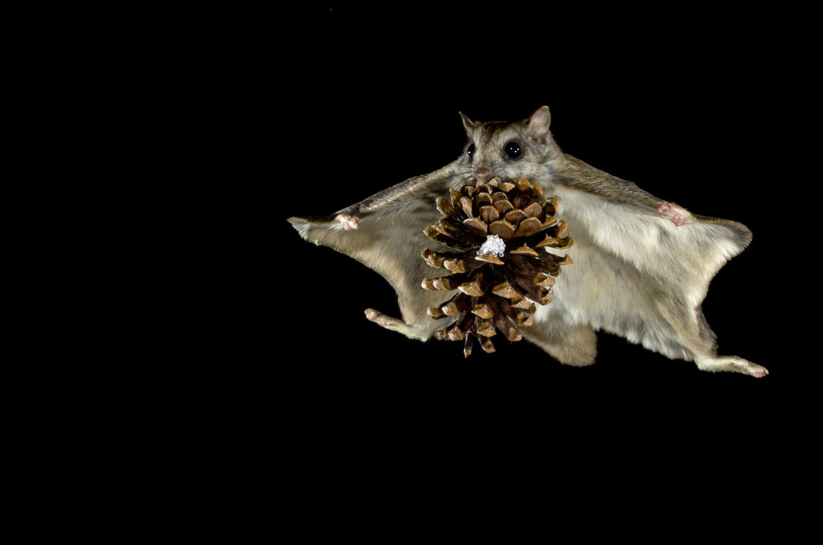 Because they can generate such impressive lift forces, the squirrels are able to glide great distances even while hauling around hefty cargo—like this enormous pine cone.