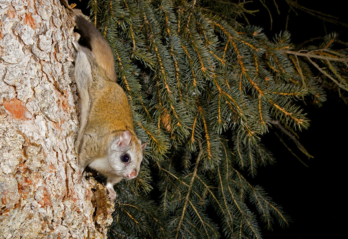 There are more than 40 species of flying squirrels in the world, two of which—the northern and southern flying squirrels—occur in North America.