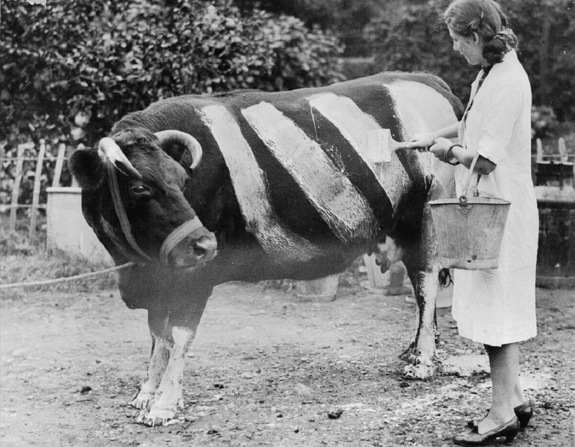An Essex farmer paints a herd of black cows with white stripes so they will be visible to the motorists during the blackout.