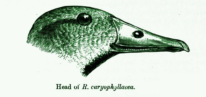 An illustration of the pink-headed duck's head.