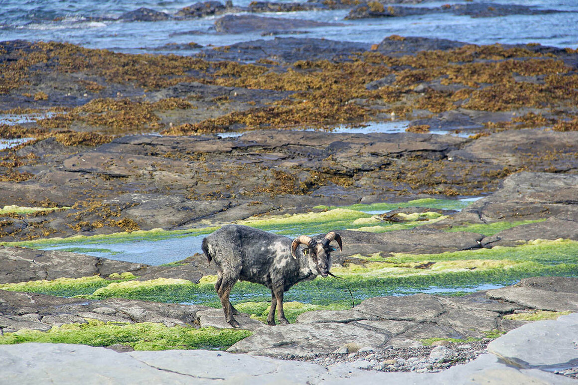 Their unusual diet, dictated by the tides, means that North Ronaldsay sheep may eat in the middle of the night and ruminate during the day.