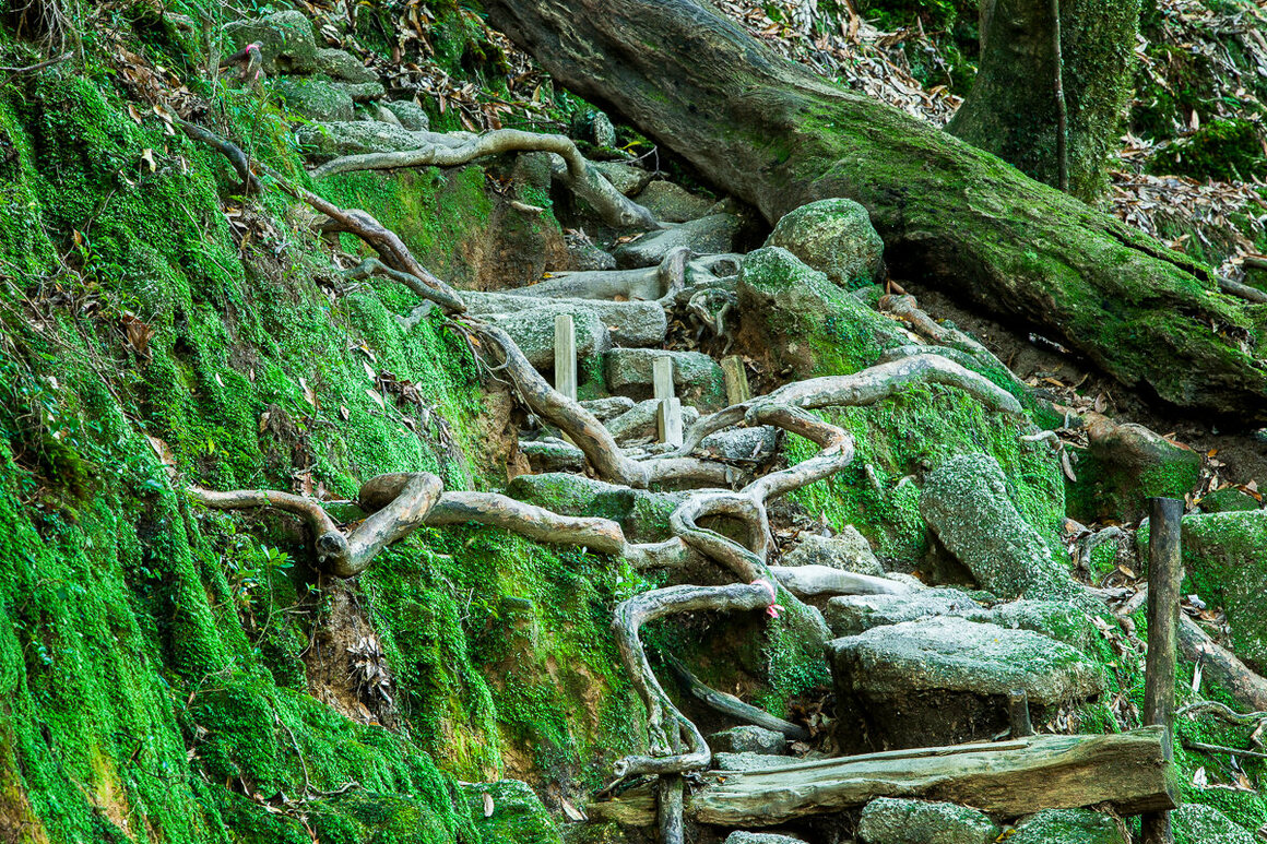 Hard stone mixes with ever-present meandering roots on the trail of Shiratani Unsuikyo.