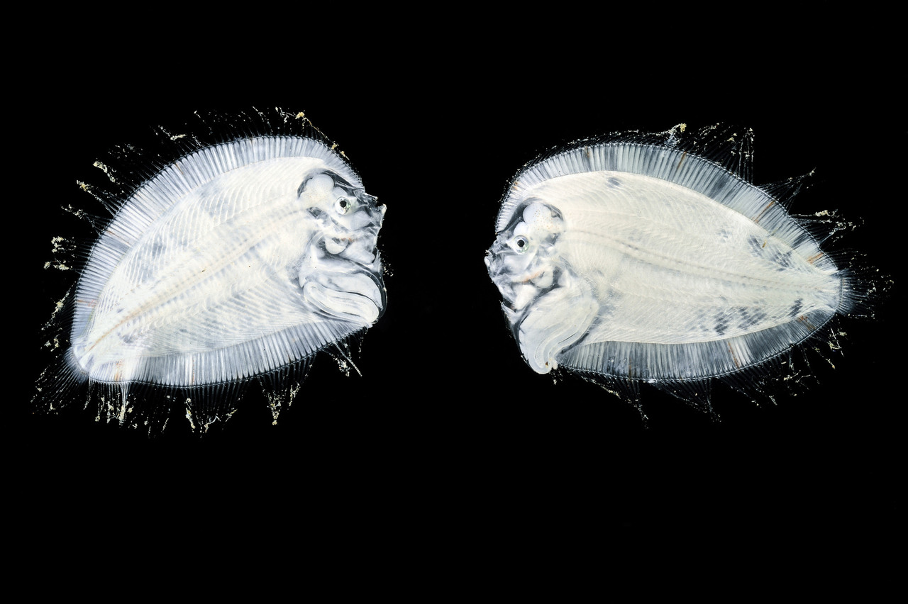 A pair of larval <em>Bothidae flatfish</em>, or left-eyed flounder, swim upright in what will be fleeting phase of body symmetry. Before long, these larvae will undergo an astounding transformation in which one of the fish's eyes migrates to the other side of the head.